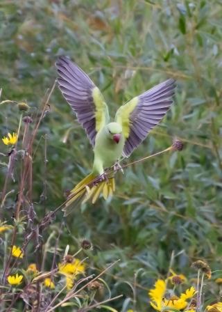 Parakeet Landing, Greenwich Park, London