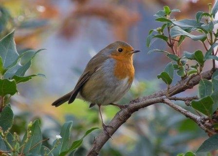 Autumn Robin, St Alfege Park, Greenwich, London