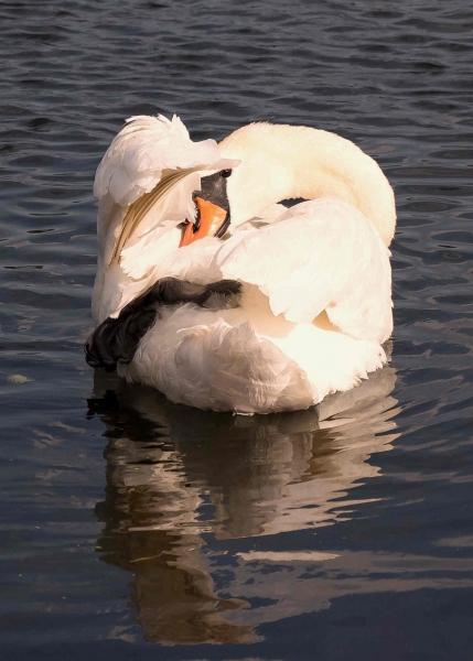 Swan Sunset, Coltishall, Norfolk