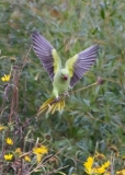 Parakeet Landing, Greenwich Park, London