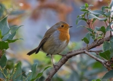 Autumn Robin, St Alfege Park, Greenwich, London
