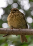 Baby Robin, St Alfege Park, Greenwich, London