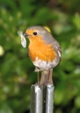 Robin & Lacewing, Greenwich Park, London