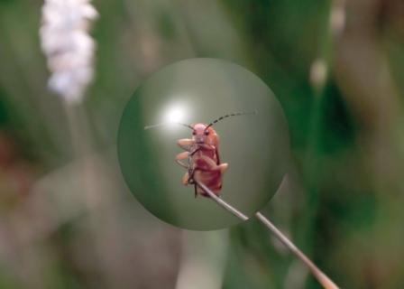Red Soldier Beetle, Norfolk