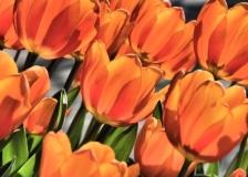 Tulips, Greenwich Park, London